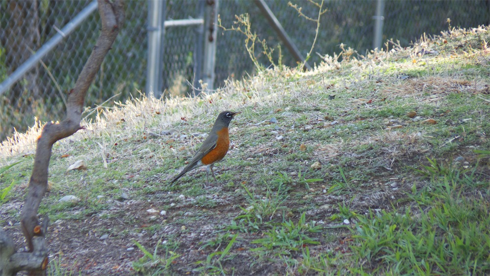 Red Robin Bobbin.jpg