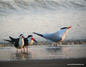 Photo: Black Skimmers and Royal Tern, Quintana Beach, upper Texas Coast