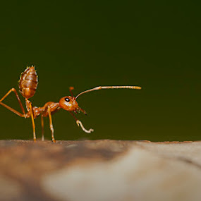 ArrogANT Style by Sony Arezki - Animals Insects & Spiders
