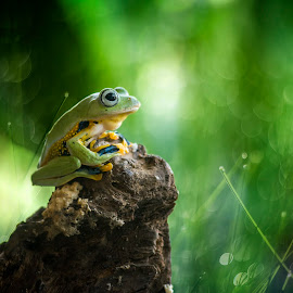 Frog, Green,  by Sulistyo Aji - Uncategorized All Uncategorized ( indonesian, macro, natural, natural beauty, nature, nature photo, natural light, nature up close, nature and wildlife, macrodaily, indonesia, nature art, macrophotography, macro photography, nature close up, macro art, nature photography, macro shot )