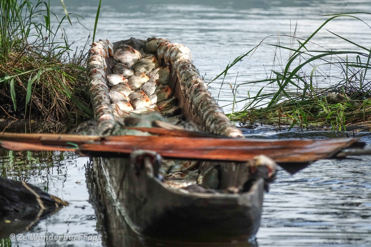 Papua. New Guinea East Sepik River Clans Crocodile Traditions. A successful fishing morning