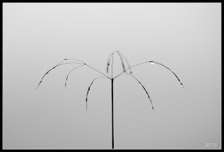 Photo: A blade of grass dew bespangled.  One of these mornings, with one day very cloudy, was walking when I saw this symmetric herb as an umbrella. I thought it might be appropriate for #MinimalMonday curated by +Olivier Du Tré  #MonoChromeMonday Curators are +Charles Lupica +Bill Wood and +Hans Berendsen Hans Berendsen #PlusPhotoExtract curated by +Jarek Klimek