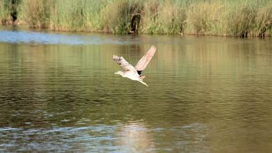 Photo: Nankeen Night-heron (juv)