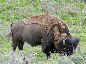 Photo: A bison less than 50 meters away! (but downhill)