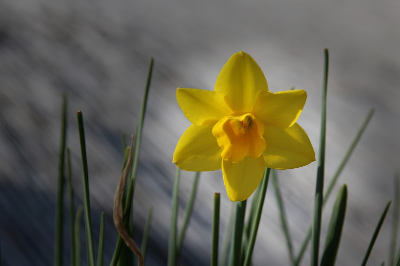 un fiore delicato di igianagianassi
