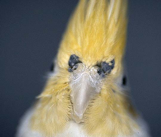 Cockatiel with black rhinal discharge that is hemoccult positive