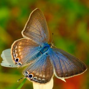April 9 pea blue open wings.jpg