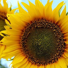 Sun lover by Liliana Radita - Nature Up Close Flowers - 2011-2013