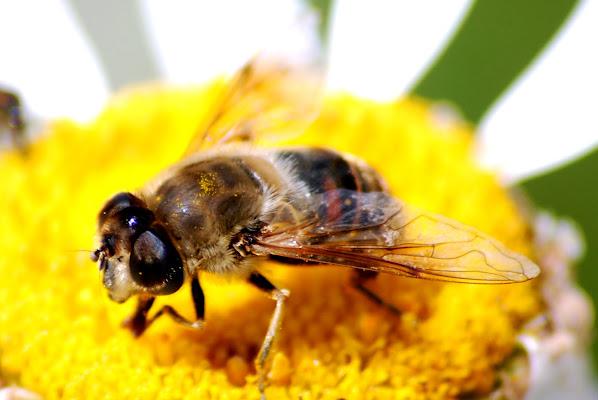 L'ape di MORENO ANTOGNOLI