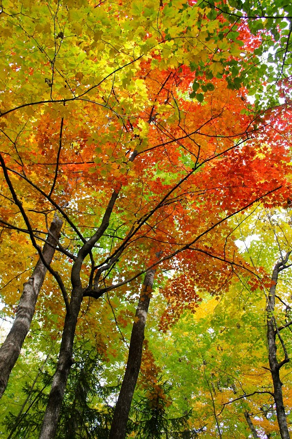 Lonely Red by Abbie Bare - Nature Up Close Trees & Bushes ( season, color, fall, leaves, pwcfallleaves-dq, maple )
