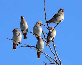 Photo: For #BirdPoker : Families curated by +Phil Armishaw  I'll open with a group of Bohemian Waxwings resting near a juniper hedgerow, back in 2007. Every so often they will fly into the junipers and eat some berries and fly back.