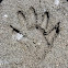 Raccoon tracks