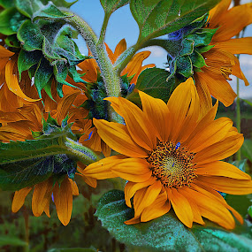 sunflowers in  a bunch by John Kolenberg - Nature Up Close Flowers - 2011-2013 ( nature, sunflowers, mexico, plants, bunch,  )