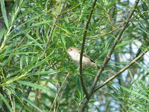 Photo: 26 Jul 13 Priorslee Lake: With some persistence managed better Reed Warbler photos this morning: an adult with food. (Ed Wilson)