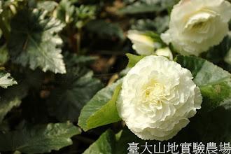Photo: 拍攝地點: 梅峰-溫帶花卉區 拍攝植物: 球根秋海棠 拍攝日期:2012_07_24_FY
