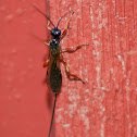 Ichneumon Wasp Sp.