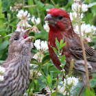 House Finch (Male, red)