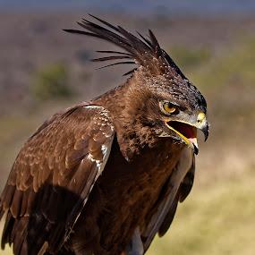 Long Crested Eagle by Burkhard Schlosser - Animals Birds ( eagle, south africa, long crested eagle, eagles, raptors )
