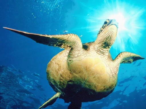 Tahiti-scuba-turtle.jpg - Enjoy regular scuba diving expeditions on cruises to Tahiti.