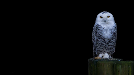 Owl Bird HD Live Wallpaper