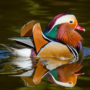 Mandarin Duck-115.jpg