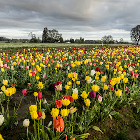 multi=colored tulips by Marie Browning - Landscapes Prairies, Meadows & Fields ( clouds, landsccape, multi-color, tulips, spring,  )