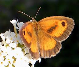 Photo: L' Amaryllis de la canche. Amaryllis de valantin - juillet, sur buddleia.