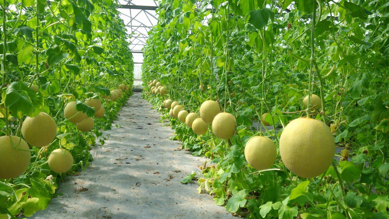 5-mô hình trồng rau sạch Vietgap.jpg