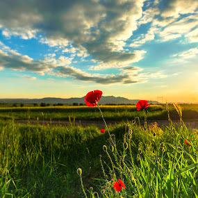 Red poppies at the sunset by Stefan Sorean - Flowers Flowers in the Wild ( sky, green, poppy, beauty, nature, rural, sun, summer, scene, flower, red, agriculture, field, grass, sunset, plant, land, season, meadow )