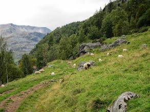 Photo: Wooly sheep grazing
