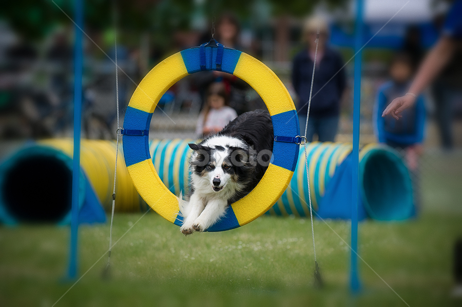 Hooper by Michael Rogan - Animals - Dogs Running ( training, collie, border collie, agility )