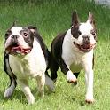 Boston Terrier Wallpapers icon