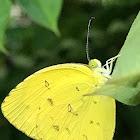Scallop Grass Yellow