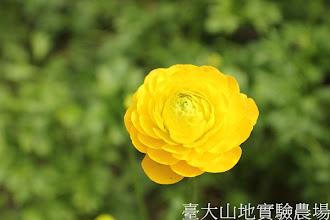 Photo: 拍攝地點: 梅峰-溫帶花卉區 拍攝植物: 陸蓮 拍攝日期:2013_01_07_FY