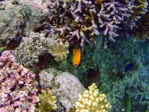Photo: Centropyge flavissima (Lemonpeel Angelfish), Naigani Island, Fiji