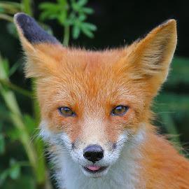 Red Fox by Anthony Goldman - Animals Other Mammals ( red, alaska, mammal.fox, wild, lake clark, wildlife,  )