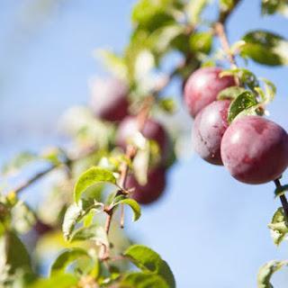 Fresh Fruit Kombucha (plum).
