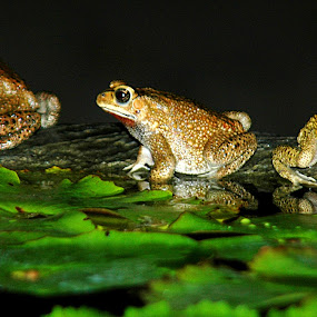 Natural Song by Dede Dewi - Animals Amphibians ( singging, nature, frog, animal )