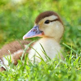 little duck by Ld Turizem - Animals Birds