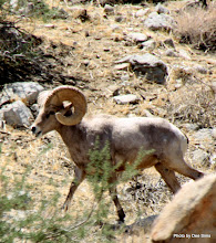 Photo: (Year 3) Day 35 - One of the Bighorn Sheep