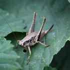 Dark Bush-cricket(female)