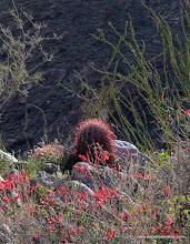 Photo: Chuparossa, barrel cactus, and ocotillo; Borrego Palm Canyon, Anza Borrego Desert State Park