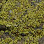 Cobblestone Lichen