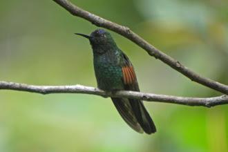 Photo: Blue-capped Hummingbird