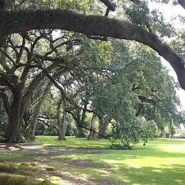The Comfort of Home by Denise DuBos - Landscapes Forests ( 350 years old, limbs, majestic, touching the ground, live oak )