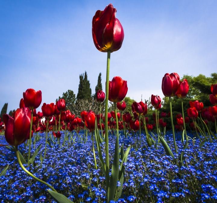 Il Re dei Tulipani di MicheleFaggian
