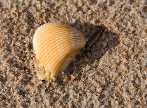 Photo: Seashell Closeup