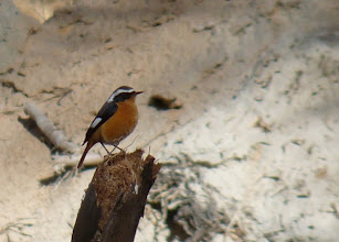 Photo: Codirosso algerino | Phoenicurus moussieri | Moussier's Redstart