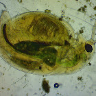 Daphnia, Water flea