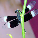 The pied paddy skimmer (male)